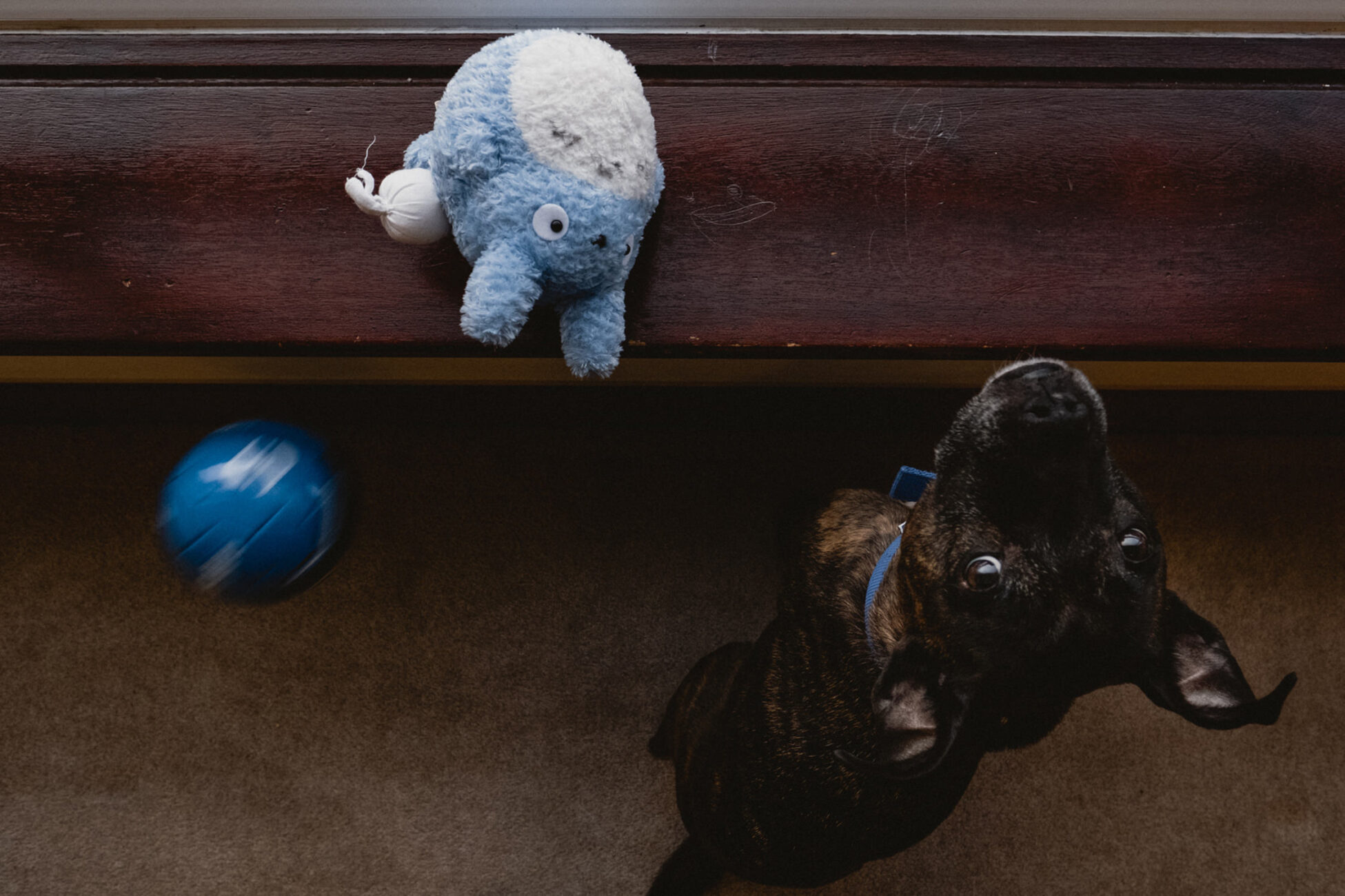 dog by the window looking back at the camera while a little blue ball is coming towards her during an essex family photoshoot